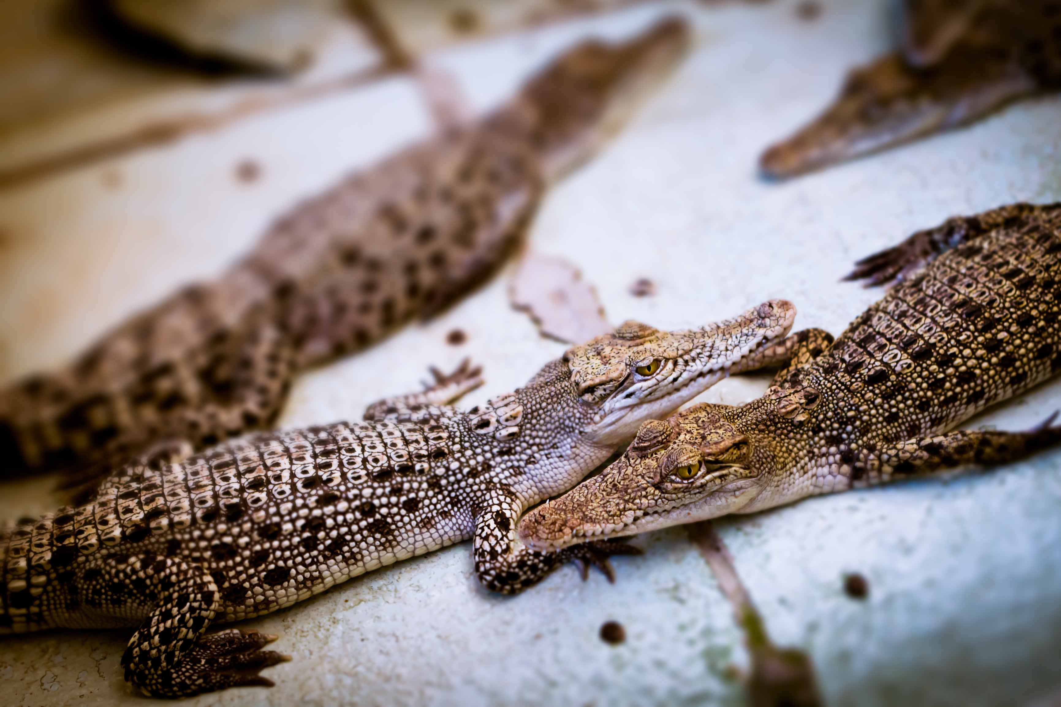 15 Foot Long Crocodiles