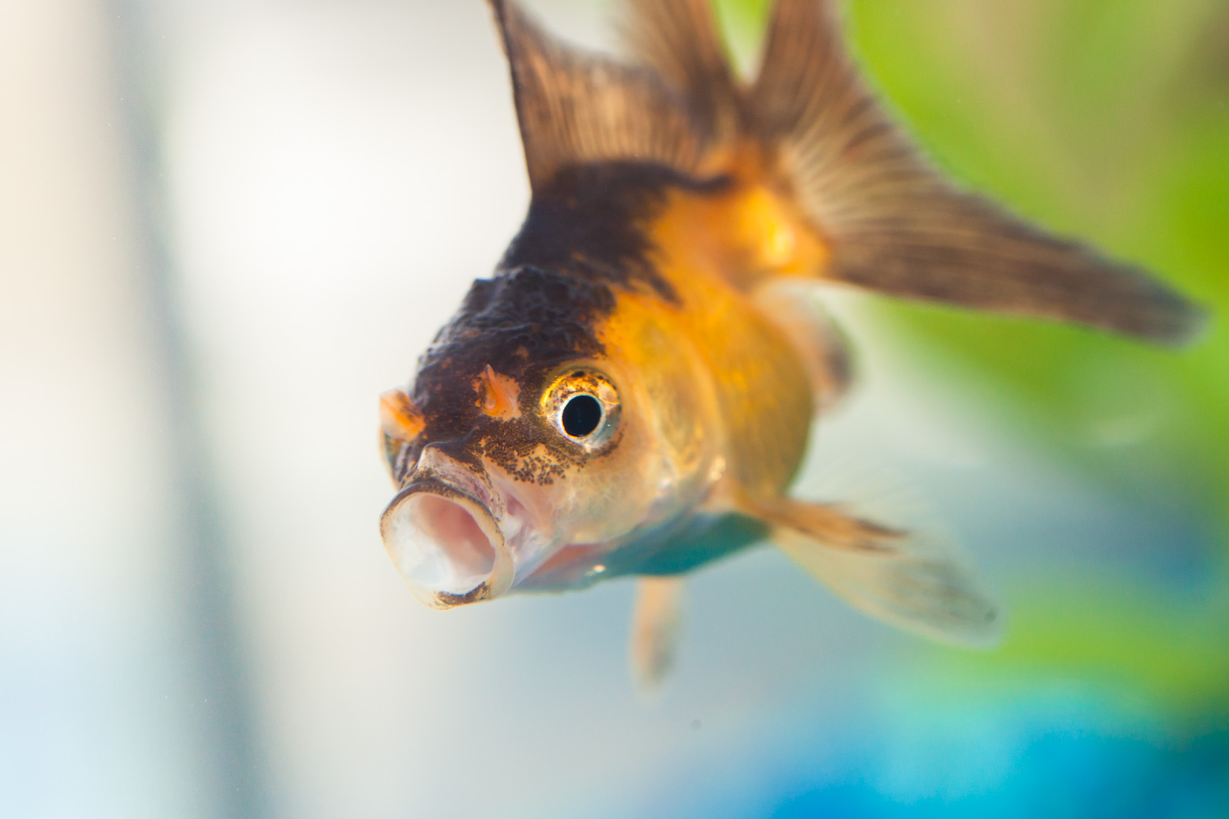Black patches on goldfish fins turning black